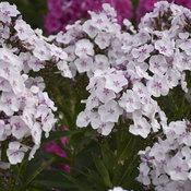 Garden Girls™ Party Girl - Tall Garden Phlox - Phlox paniculata