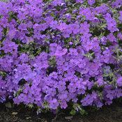 phlox_purple_sprite_cjw17_2_1.jpg