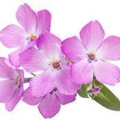 phlox_rose_sprite_05.jpg