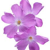 phlox_spring_bling_rose_quartz_macro_01.jpg