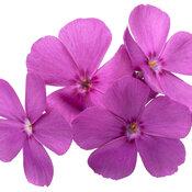 phlox_spring_bling_ruby_riot_macro_02.jpg