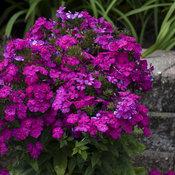 phlox_ultraviolet_apj19_12.jpg