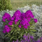 phlox_ultraviolet_apj19_4.jpg