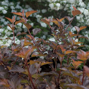 PhyCoppertinaFoliage.jpg