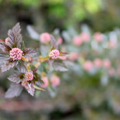 physocarpus_tiny_wine_img_5488.jpg