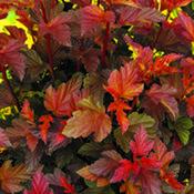 PhysocarpusCoppertina.jpg