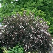 physocarpussummerwine2028.jpg