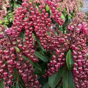 Interstella® - Lily of the Valley shrub - Pieris japonica