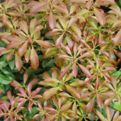 pieris_interstella_2.png