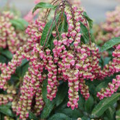 pieris_interstella_3.jpg