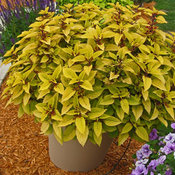 PineappleColeus14Upright.jpg