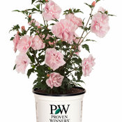 pink_chiffon_hibiscus-6735.jpg