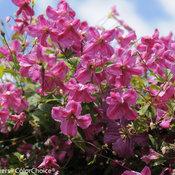 pink_mink_clematis-.jpg