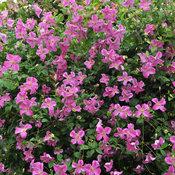 pink_mink_clematis-3.jpg