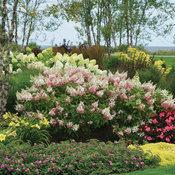 Pinky Winky® - Panicle Hydrangea - Hydrangea paniculata