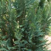 Pinpoint Blue false cypress