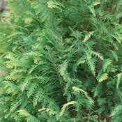 pinpoint_blue_gold_chamaecyparis_foliage.jpg