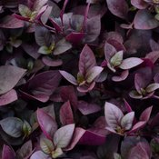 Proven Accents® Plum Dandy™ - Alternanthera hybrid