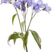 polemonium_heaven_scent_macro_03.jpg
