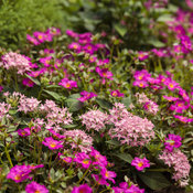 portulaca_and_pentas_bed_51.jpg