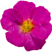 portulaca_mojave_fuchsia_improved_02.jpg
