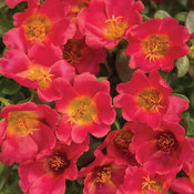 Mojave® Red - Purslane - Portulaca umbraticola