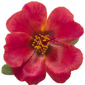 portulaca_mojave_red_improved_01.jpg