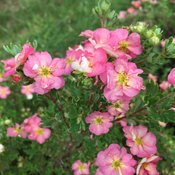 potentilla_happy_face_hearts_1.jpg