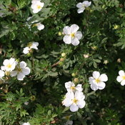 potentilla_happy_face_white_3056.jpg
