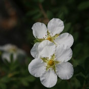 potentilla_happy_face_white_img_6222.jpg