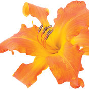 primal_scream_daylily.jpg