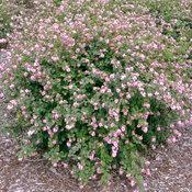 proud_berry_symphoricarpos_coral_plant.jpg