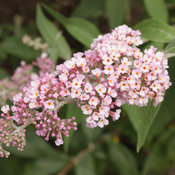 proven_winners_buddleia_inspired_pink_butterfly_bush.jpg