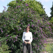 proven_winners_buddleia_inspired_violet_butterfly_.jpg
