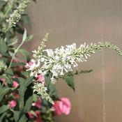 proven_winners_buddleia_inspired_white_butterfly_b.jpg