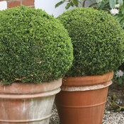 Sprinter® - Boxwood - Buxus microphylla