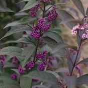 Purple Pearls® - Beautyberry - Callicarpa x