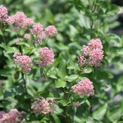 proven_winners_ceanothus_marie_rose_new_jersey_tea.jpg