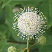 Sugar Shack Cephalanthus bloom