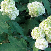 proven_winners_hydrangea_gatsby_moon_close_up.jpg