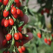 Big Lifeberry® - Goji Berry - Lycium barbarum