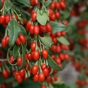 proven_winners_lycium_sweet_lifeberry_goji_berry.jpg