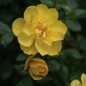 proven_winners_rosa_oso_easy_lemon_zest_rose.jpg