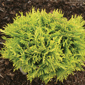proven_winners_thuja_annas_magic_moment_arborvitae.jpg