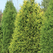 Polar Gold® - Arborvitae - Thuja occidentalis