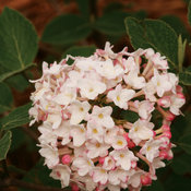 proven_winners_viburnum_spice_baby_tag.jpg