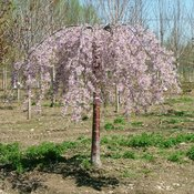 Pink Snow Showers™ - Weeping Cherry - Prunus x