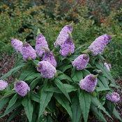 Pugster® Amethyst - Butterfly Bush - Buddleia x
