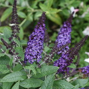 Pugster Blue Buddleia flowers