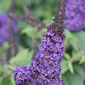 Pugster Blue Buddleia bloom